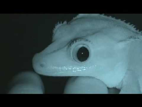 Watching Gecko's Pupils Contract And Dilate Is Pretty Satisfying