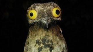 Potoo, Burung Berwajah Lucu Dengan Suara Menyeramkan