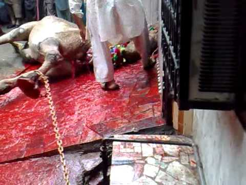 Qurbani Cow Kick http://tube.7s-b.com/qurbani+2011/