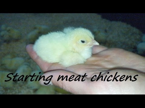 Starting tips for raising heathy Cornish meat chickens