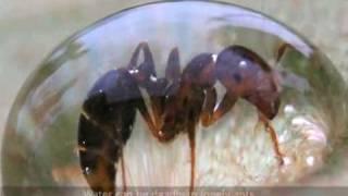 Mass of ants behaving as a fluid