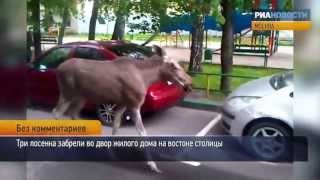 Лосята вышли из леса к жилому дому в Москве