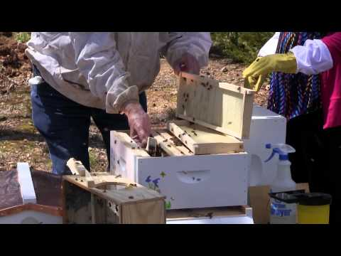Putting Honey Bees in a Hive or Souper