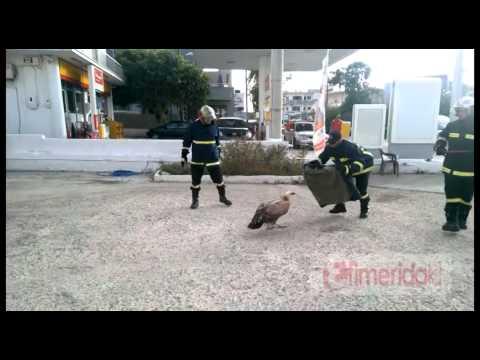 Διάσωση τραυματισμένου γυπαετού στα Χανιά
