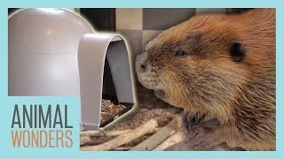 Huckleberry the Beaver Gets a New Igloo! by Animal Wonders