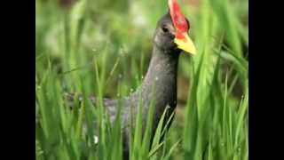 Suara Burung Ayam Ayam