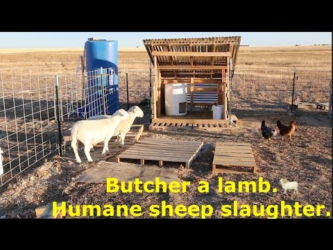 Butcher a lamb. Humane sheep slaughter. (MUST WATCH!) //Sanchez Fun