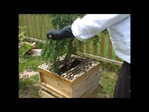 I capture a huge scary swarm of bees and put them into a new hive surrounded by them!