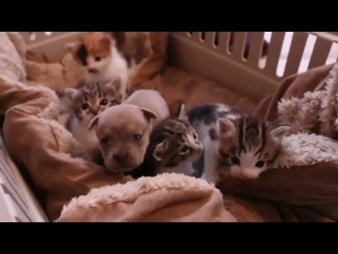 Newborn puppy adopted by a cat family