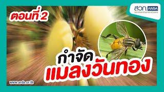 แมลงวันทอง (2)