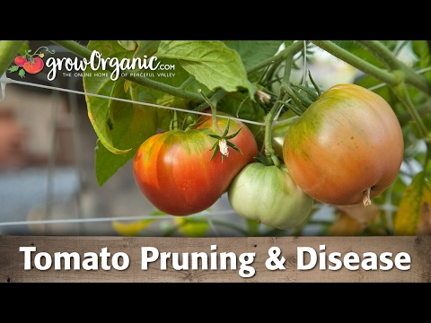 Tomato Pruning and Tomato Diseases