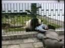 Útok pandy velké na turistu