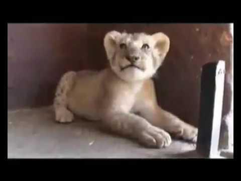 Regardez cette relation extraordinaire entre Kevin Richardson et les lions !