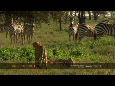 Cheetahs - WARNING: Footage may upset sensitive viewers. Visit http://www.earth-touch.com for a closer look at the wonders of the natural world. Spotted predators drag ...