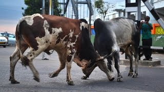 Rajahmundry India  city photo : Bull Fight. Rajamahendravaram (Rajahmundry) India