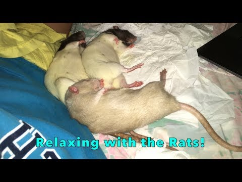 Cuddling And Relaxing With The Older Rats!