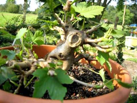 video bonsai bergahorn nach der geburt durch abmoosen. Black Bedroom Furniture Sets. Home Design Ideas