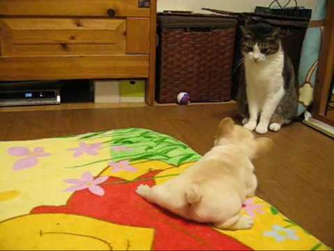 Little Bulldog vs. Cat.