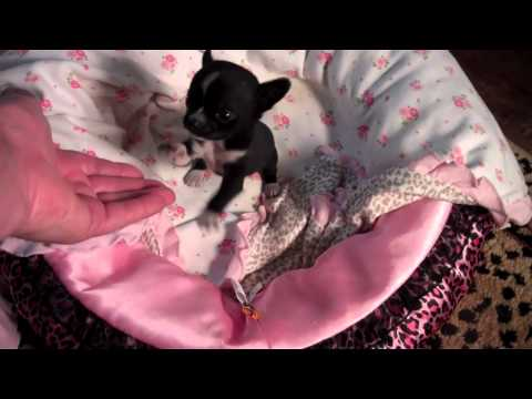 Tinypawsandclaws Micro Pocket Teacup Chihuahua Puppy (Truly)  Available Now!!  Black Female   LOOK