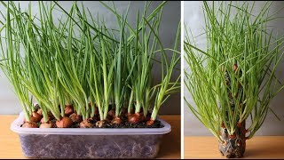 green onion home garden demo