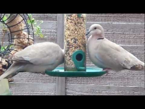Ring Necked Doves feeding
