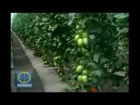 Manual del Tomate