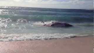 Ningaloo Reef Shark vs Whale 2