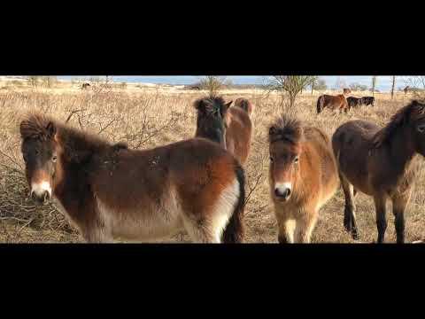 Pastvina divokých koní