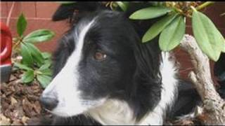 Dog Breeds&Dog Training : How To Care For A Border Collie