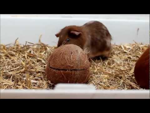 comment soigner un cochon d'inde qui a la gale