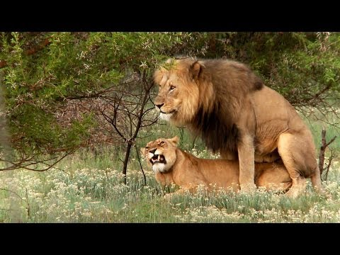 XxX Hot Indian SeX Lion mating ritual up close.3gp mp4 Tamil Video