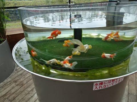アクアマリンふくしま 水泡眼水槽 金魚と遊ぶ.com