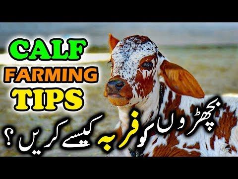 Calf Farming Calf Fattening & Calf Rearing | Tips & Tricks of Cattle Farming for Bakra Eid by Ijaz
