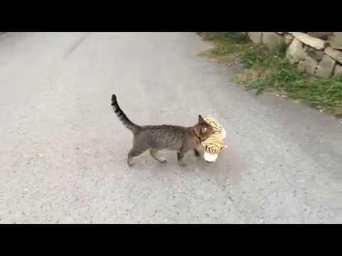 網友看到自家小貓跑去鄰居家偷了一個老虎玩偶回來就好奇的跟著牠,沒想到竟然看到牠對玩偶做這個...