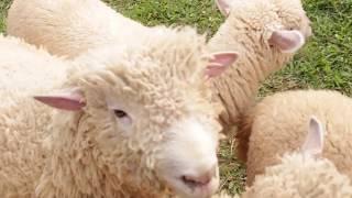 Main-main Seru bareng Domba-domba di DE'RANCH!
