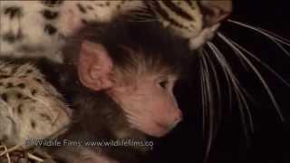 Un léopard tue une maman babouin puis protège le bébé de cette dernière