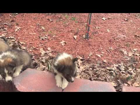 AKC sable sheltie puppy