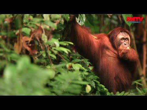 Lihat Orangutan, Leonardo DiCaprio Datang Ke Aceh