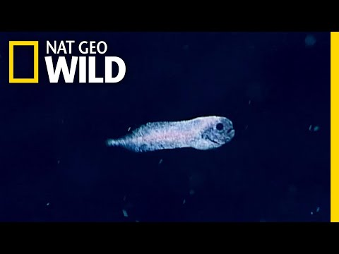 Check Out This Ghostly Deep-Sea Fish | Nat Geo Wild