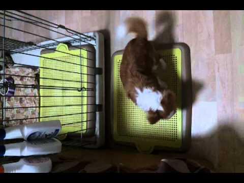 """Chihuahua """"pee pee"""" time"""