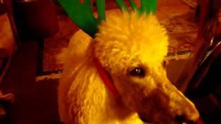 Poodle Hates Christmas