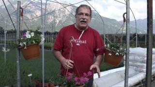 #404 Ampelbepflanzung mit Verbene und Fächerblume