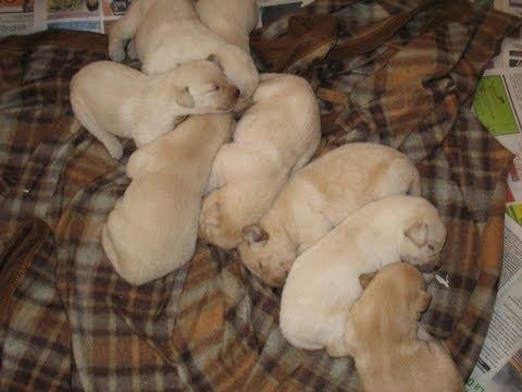 Cute Labrador Puppies Sleeping