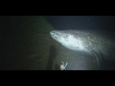 Seltene Aufnahme: Grönlandhai in der kanadischen Ar ...