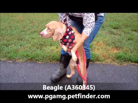 RESCUED!!!  BEAGLE. 4 YR OLD FEMALE. A LOVABLE GIRL (A360345) (видео)