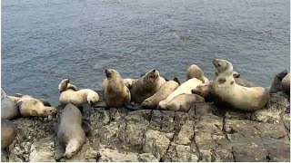 Sea Lion Cam   The Dodo Tranquil Tuesdays LIVE by The Dodo