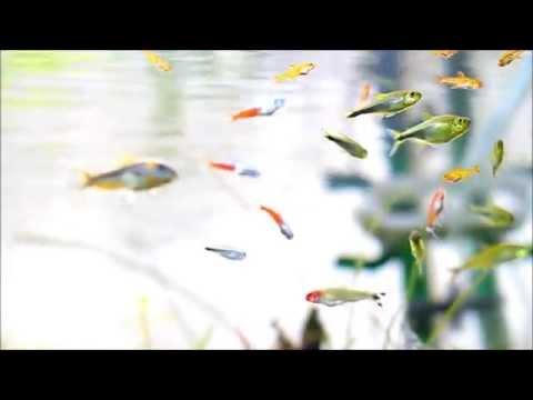 #6.カラシン中心の混泳水槽~我が家の熱帯魚~(Tropical Fish of my home)