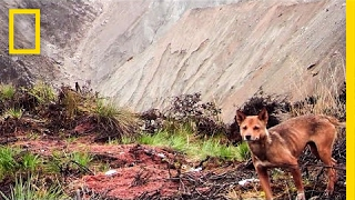 The New Guinea highland wild dog was feared extinct in the wild after nearly half a century without a confirmed sighting. But after a pawprint and other poss...