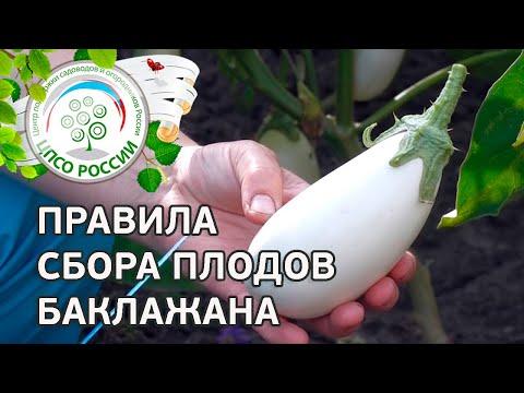 Собираем урожай (белые и синие баклажаны). Выращивание баклажанов.