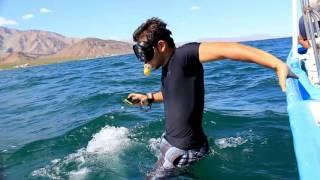 De junio a noviembre de cada año, el Tiburón Ballena visita la Bahía de los Ángeles en Baja California, desde 2008 se monitorea la presencia del pez más ...